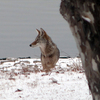 A coyote gazes into the distance as he stands on a fresh blanket of snow along the wintery shores of Lake Eufaula.