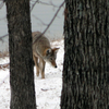 A coyote searches for a meal along the snowy banks of Lake Eufaula.