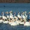 Fort Gibson Lake becomes a bird watcher's paradise each fall during the annual winter migration of the American White Pelicans.