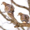 A pair of doves rest on a limb together on a cold winter day in Harrah.  Oklahoma provides a wide variety of bird watching opportunities across the state.