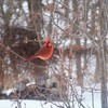 A brightly colored cardinal announces himself on a winter day in Coweta.  Oklahoma is a bird watcher's paradise with several designated wildlife refuges that are home to hundreds of species including rare birds like the Lesser Prairie Chicken and migratory birds on the Central Flyway.