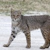 This handsome bobcat was spotted on the roam in Holdenville.