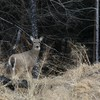 A doe slips into the woods at Great Salt Plains State Park in northern Oklahoma.