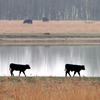 A drive along Highway 69 between Checotah and Muskogee offers scenic pastoral views as calves stroll along a pond bank.