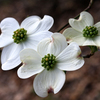 A terrific trio of dogwood blossoms herald spring in Honor Heights Park in Muskogee during the annual Azalea Festival.