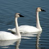 These trumpeter swans chose Norman as their winter home.  Lake Thunderbird in Norman is home to a wide variety of wildlife including wintering bald eagles.