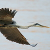 A Great Blue heron in flight at Lake Thunderbird State Park in Norman.