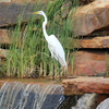 This Great Egret is enjoying a scenic lake spot in Norman.