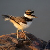 A Killdeer chick ventures out on a rock near the edge of a lake in Norman.