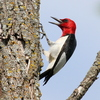 A Red-headed woodpecker makes an appearance on the South Canadian River in Norman.