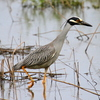 Yellow-crowned Night heron on a flooded field near the South Canadian River near Norman.