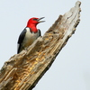 This Red-headed woodpecker was spotted near the South Canadian River in Norman.