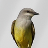 The Western Kingbird is a summer visitor to Oklahoma. This one was spotted at Sutton Wilderness in Norman.