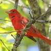 A Summer Tanager sings in the crosstimber oaks near Lake Thunderbird in Norman.