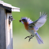 An Eastern bluebird brings a meal home to his nestling in Norman.