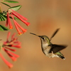A female Black-Chinned hummingbird feeds on honeysuckle in Norman.