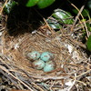 Beautiful turquoise colored eggs spotted in a mockingbird nest in Norman.
