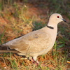 This Eurasian Collared Dove was spotted in Norman.
