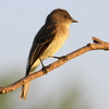 An Eastern Phoebe rests on a limb in Norman.