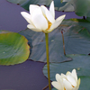 Graceful water lily blossoms add beauty to ponds and water gardens in Oklahoma.  Enjoy them for yourself at the Linnaeus Teaching Garden in Tulsa among other botanical gardens.