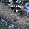 A raccoon rests on a limb of a pecan tree near Moore.