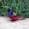 This Painted Bunting was spotted near Lake Eufaula in eastern Oklahoma.
