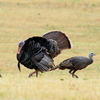 A male wild turkey puts on quite a display just east of Norman.