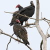 Vultures survey Lake Thunderbird in Norman and act as the lake's clean-up crew.