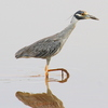 A Yellow-crowned Night Heron watches for fish in shallows along the shores of Lake Thunderbird in Norman.