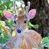 A young buck with his antlers still in velvet peeks out of the thick foliage at Lake Thunderbird in Norman.
