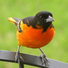 A Baltimore Oriole showcases its beautiful plumage in Norman.