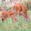 A doe and her twin fawns graze near Lake Thunderbird in Norman.