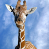 A giraffe checks out the visitors at the Tulsa Zoo. The 78-acre zoo is home to more than 1,500 animals and has been rated among the top twenty zoos in America.