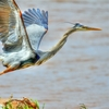 A Great Blue Heron takes flight at Lake Thunderbird in Norman.