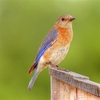 A female Eastern Bluebird rests on a nestbox in Norman.