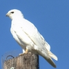 A leucistic Red-tailed hawk rests atop a telephone pole near Norman.