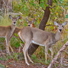 A doe and her twin fawns at Lake Thunderbird in Norman.