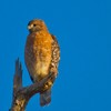 A Red-shouldered Hawk looks for prey along the shore of Lake Thunderbird in Norman.