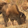 A cow buffalo grazes at the Wichita Mountains National Refuge in Lawton.  Free-ranging buffalo herds can usually be seen by visitors throughout the park from the road.