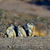 A family of Black-tailed prairie dogs peer out from the prairie dog village at the Wichita Mountains Wildlife Refuge near Lawton.