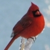 A beautiful male cardinal perches on a winter icicle formed around a blade of grass at Pine Lodge Resort on Grand Lake in northeast Oklahoma.