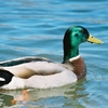 A Mallard drake floats along in Grand Lake near Pine Lodge Resort in Ketchum.