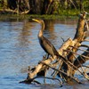 A Double-crested Cormorant soaks up some sunshine at Red Slough Wildlife Management Area near Idabel in southeast Oklahoma.  Red Slough supports over 300 species of birds as well as Oklahoma's only alligator population.