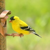 A colorful American Goldfinch visits a feeder in Norman.