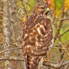 A Red-shouldered Hawk is well camoflauged among the trees of Crestland Park in Norman.
