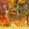 A handsome buck feeds early in the morning amidst brilliant autumn leaves at Lake Thunderbird.  Hunting is allowed in designated areas around Lake Thunderbird.