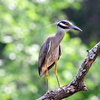 A Yellow-crowned Night Heron near the Canadian River in Norman.