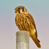 Oklahoma's smallest raptor, the American Kestrel, perched near Norman.