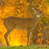 Early morning light and fall foliage make a colorful backdrop for this buck at Lake Thunderbird in Norman.