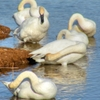 Preening Trumpeter Swans enjoying the winter on a Norman lake.